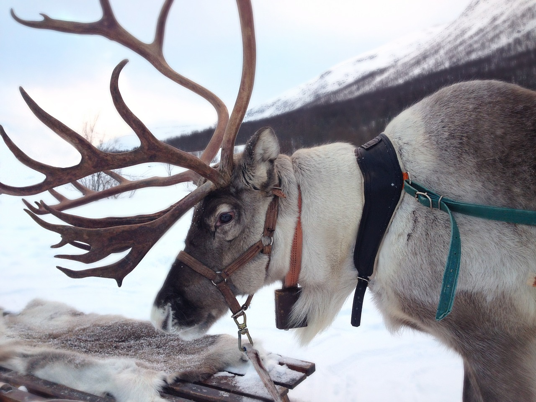 reindeer-2023720_1280