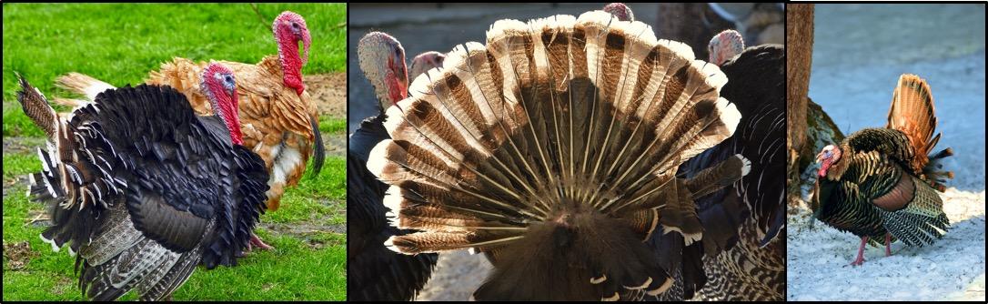 turkeys-blog-1-1